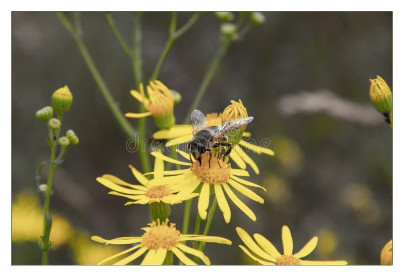 Bi på en blomma arkivfoto