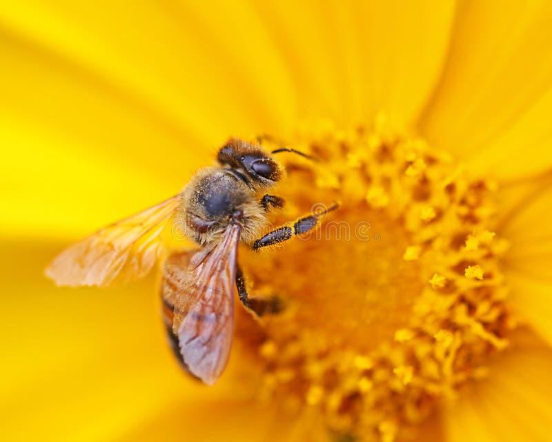 Bi på en gul blomma royaltyfri bild