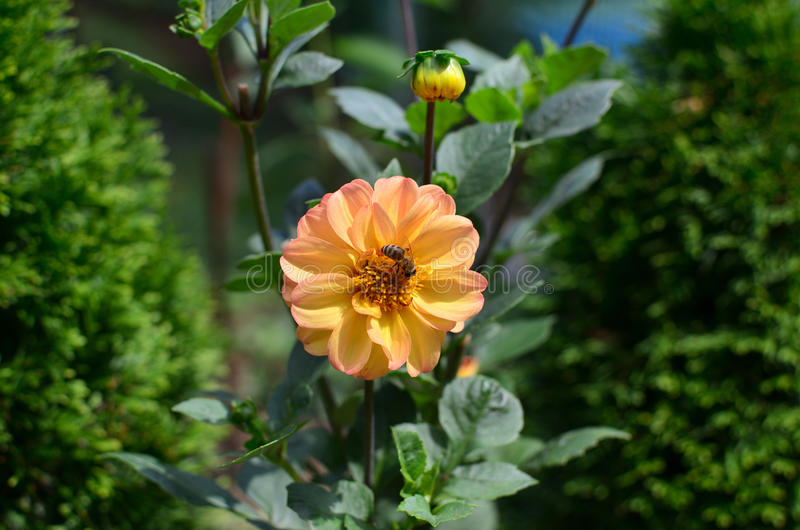 Bi på en gul dahlia royaltyfria bilder