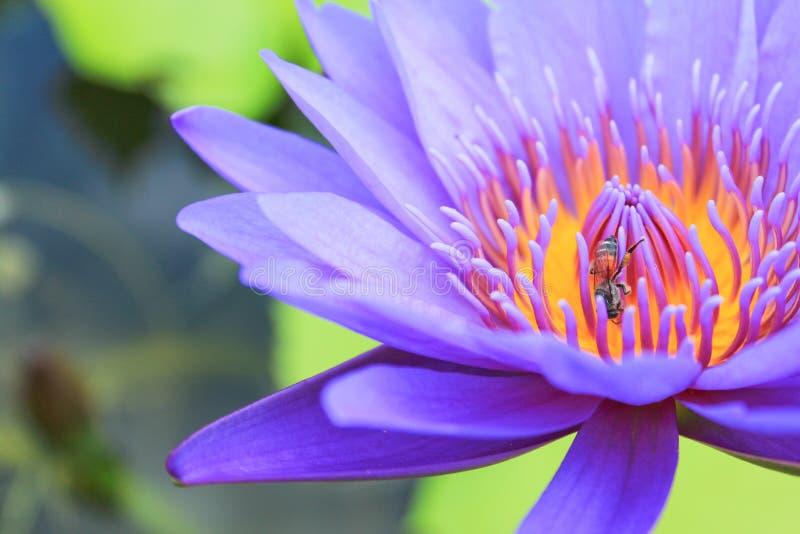 Bi på en lotusblomma. arkivbild