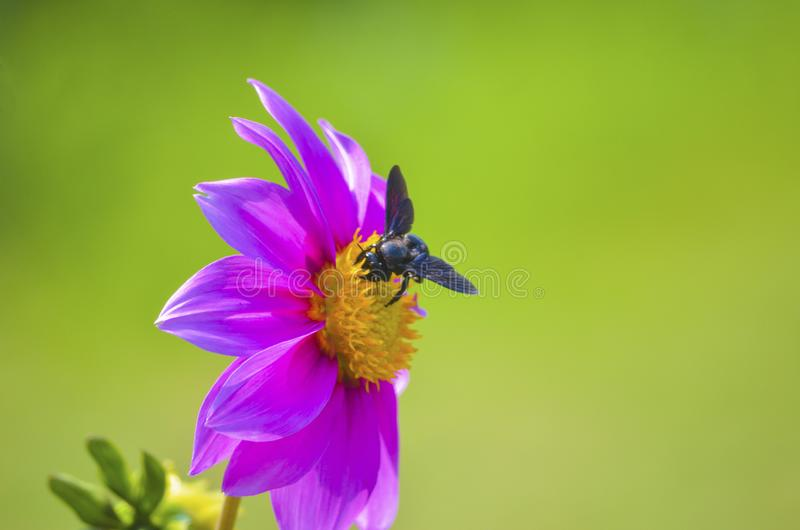 Bi på en rabatt som söker för mat i en trädgård som isoleras från bakgrund royaltyfri foto