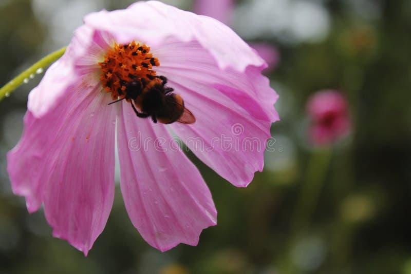 Bi på en rosa blomma arkivfoto