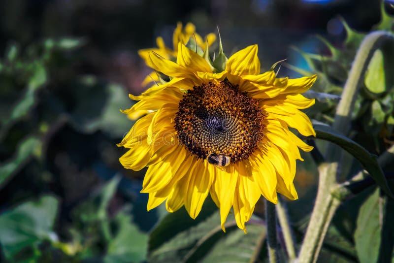 Bi på en solrosblomning royaltyfria foton