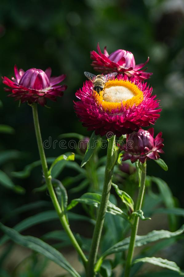 Bi på en trädgårds- blomma arkivfoton