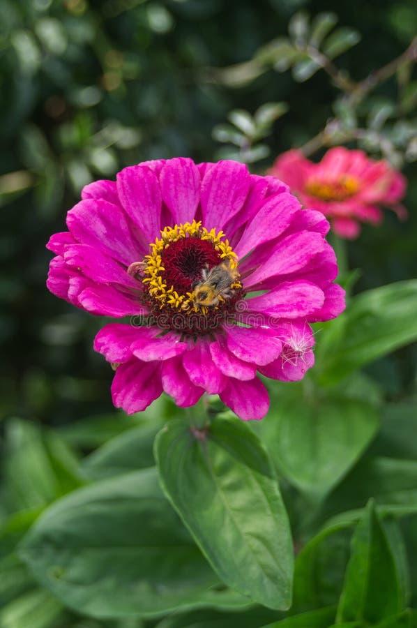 Bi på en trädgårds- blomma arkivbild