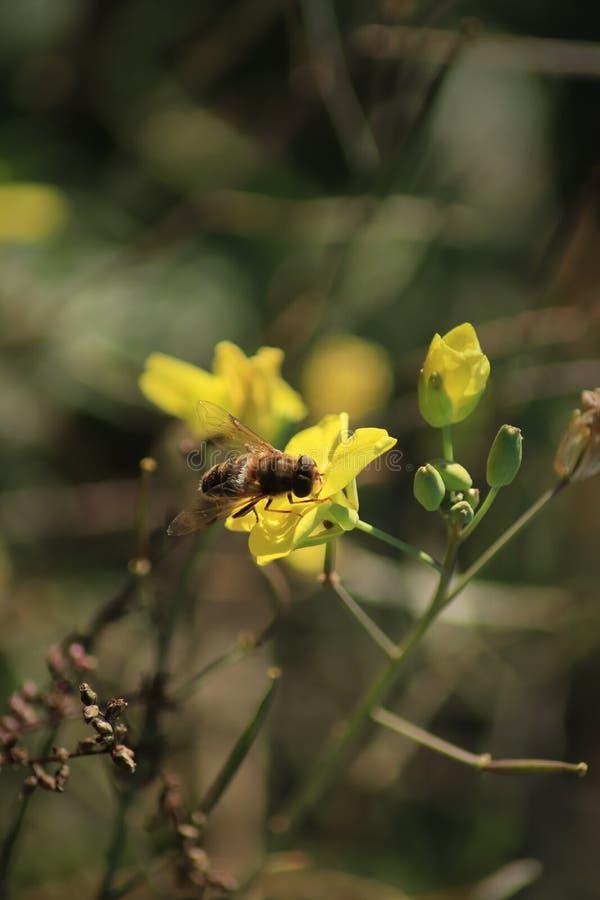 Bi på en vinterkryddkrasse Bi på gul blomma closeup slapp fokus royaltyfri foto