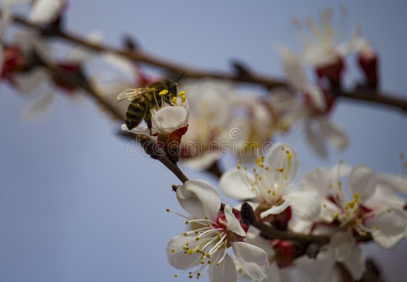 Bi på fruktträdblomman med vita kronblad royaltyfria bilder
