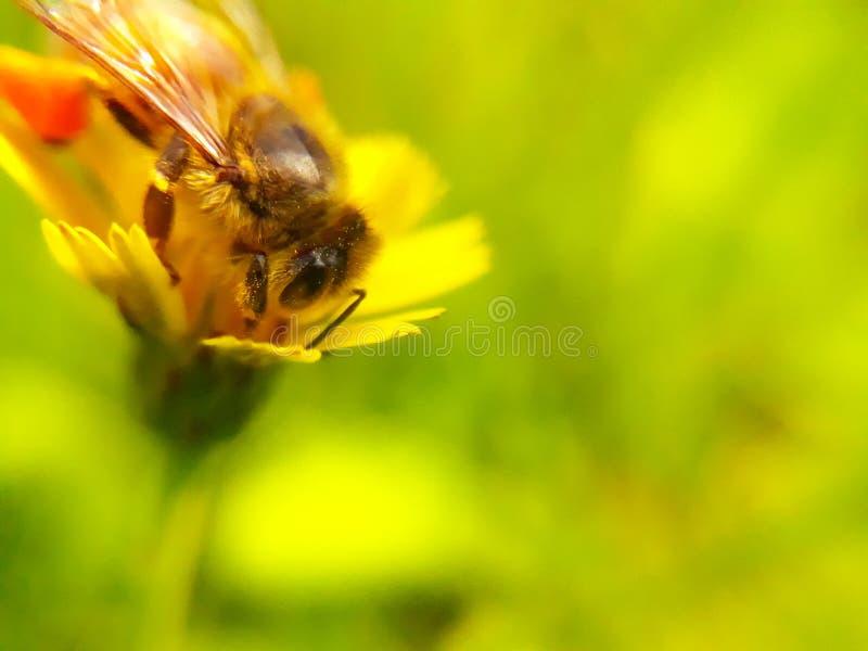 Bi på gul blomma arkivfoton