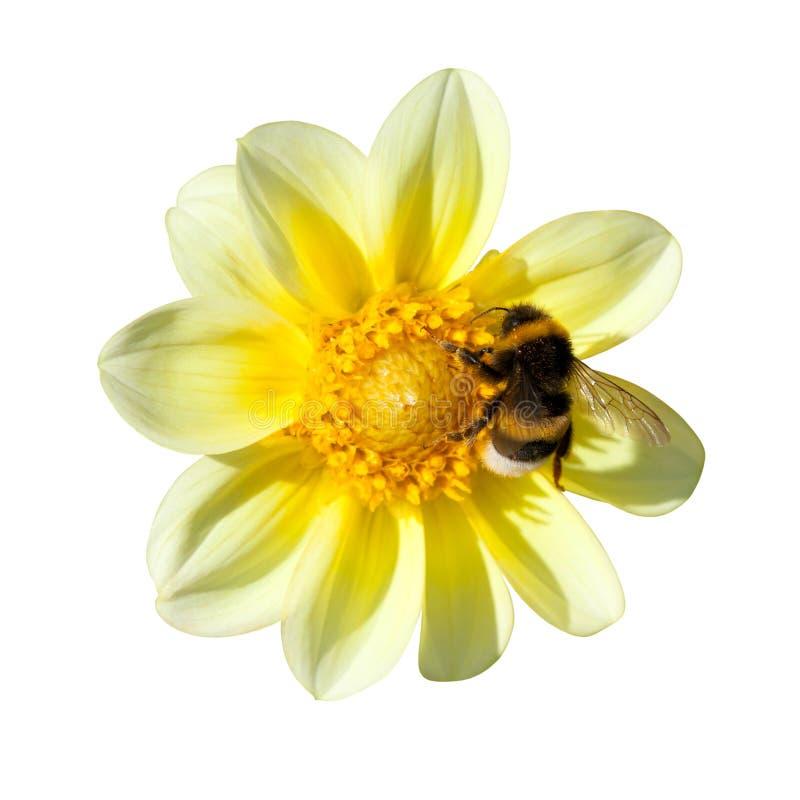 Bi på gul dahlia royaltyfri bild