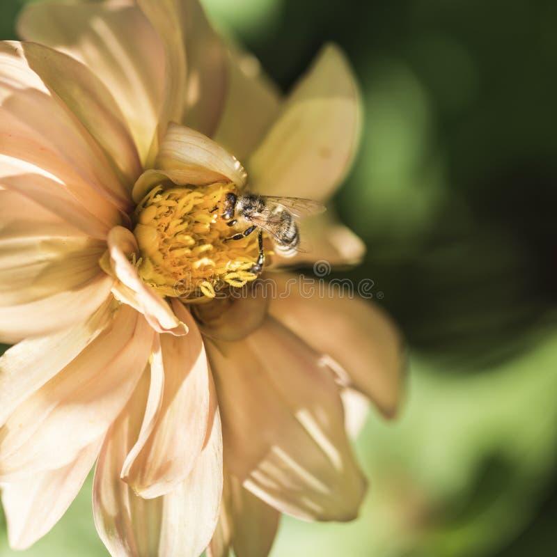 Bi på gul dahlia i trädgården arkivfoto