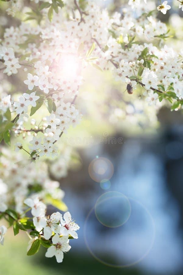 Bi på körsbärsröda blomningar royaltyfri foto
