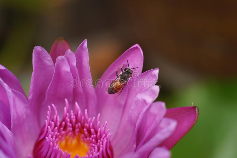 Bi på lotusblommablomman arkivfoto