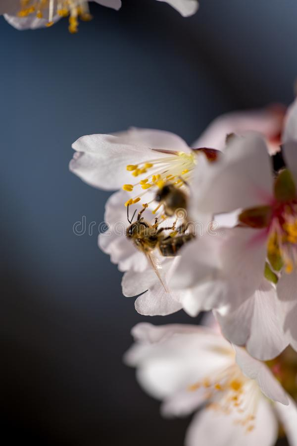 Bi på mandels bakgrund för säsong för vår för blommamakro arkivfoton