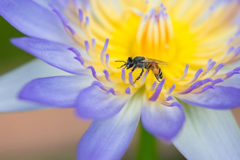 Bi på purpurfärgad lotusblomma royaltyfri bild