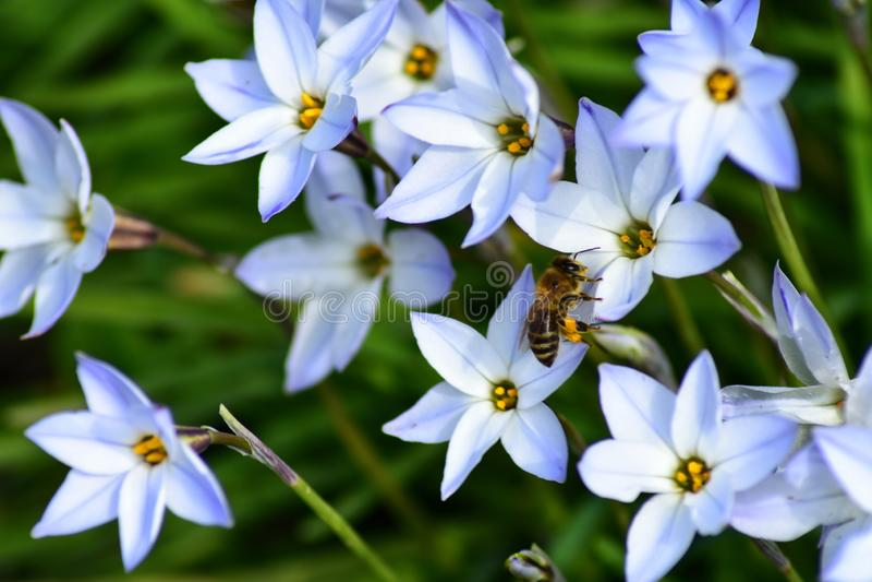 Bi p? en blomma arkivfoton