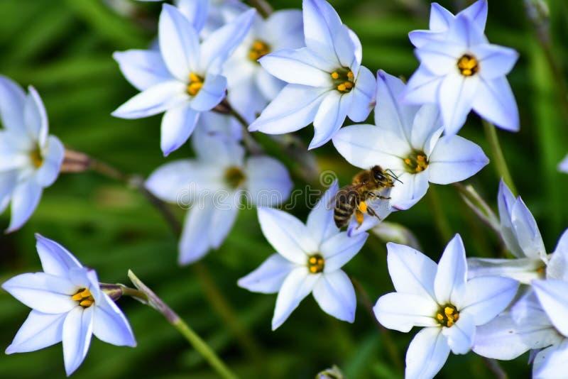 Bi p? en blomma arkivbilder