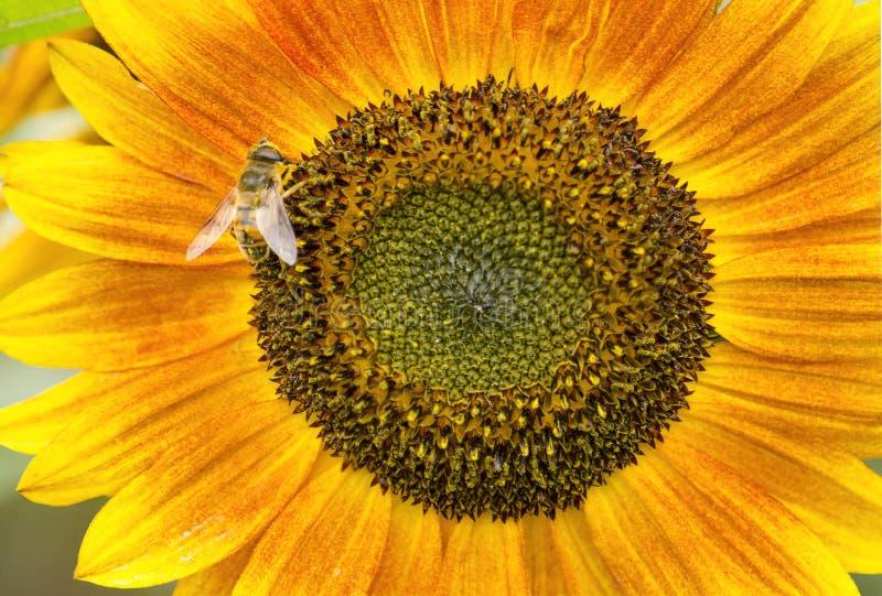Bi p? en gul solros arkivbilder