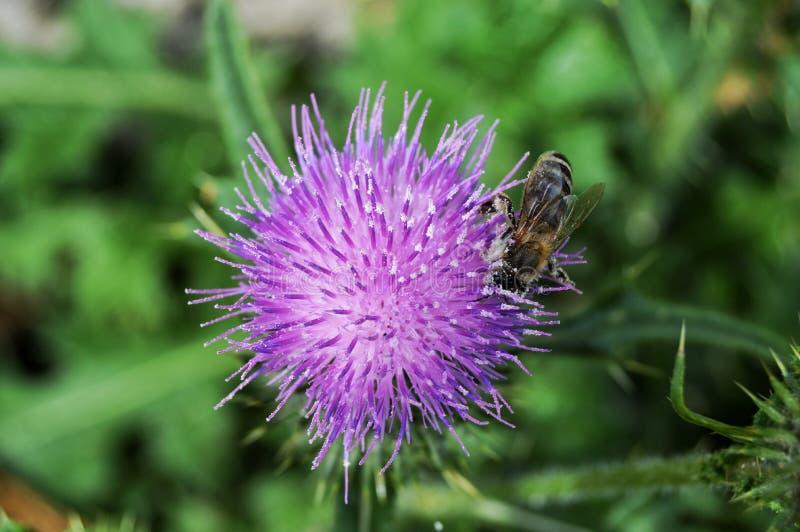 Bi p? en violett blomma royaltyfria foton