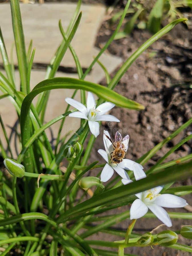 Bi p? en vit blomma royaltyfria bilder