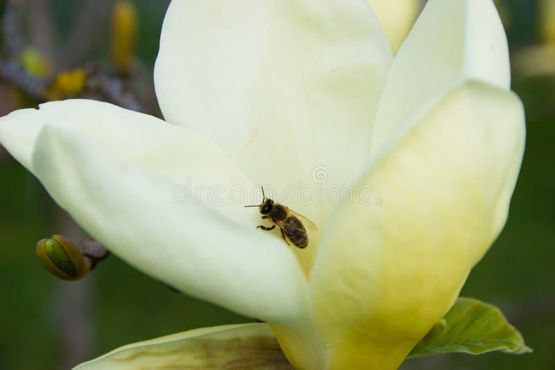 Bi p? magnolia royaltyfria bilder
