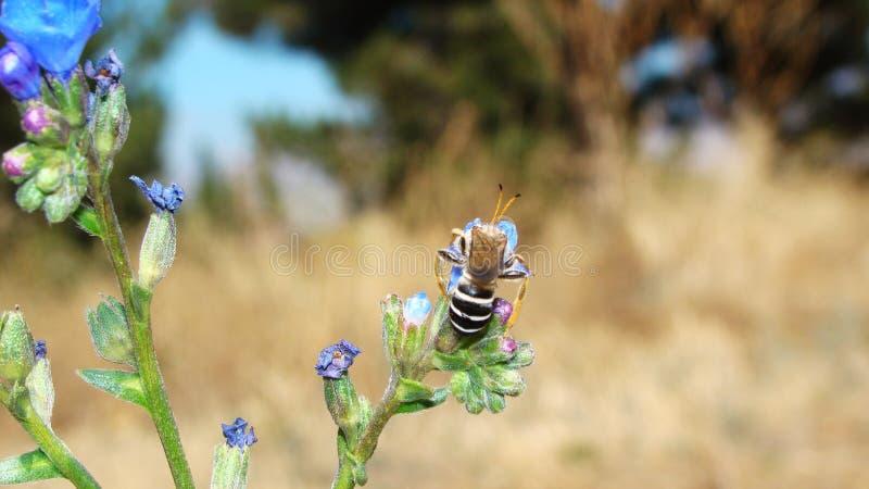 Bi   Skönheten av Pollination royaltyfri bild