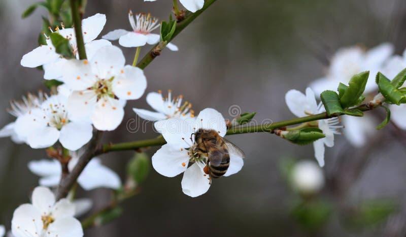 Bi som över böjer för blomman arkivfoto