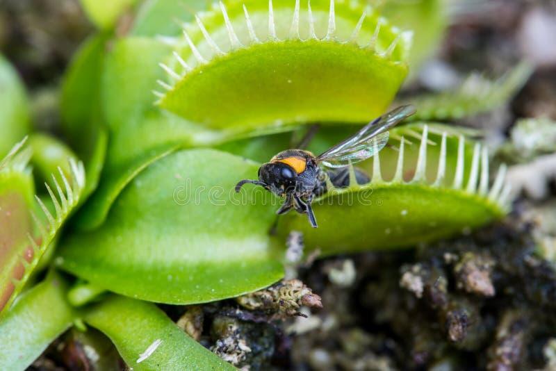 Bi som fångas av växten för Venus flytrap royaltyfri foto