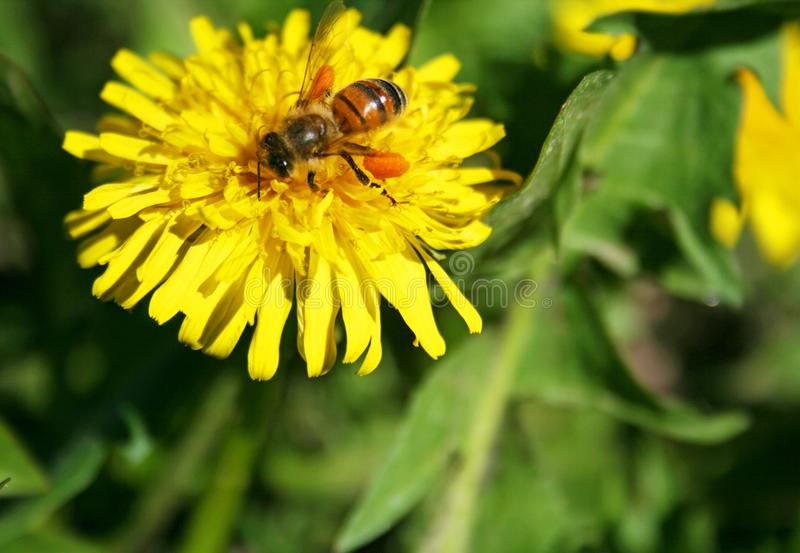 Bi som pollinerar den gula blomman royaltyfria bilder