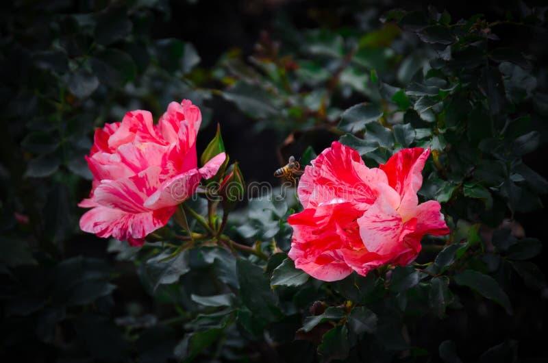 Bi som pollinerar den röda blommaBogotá botaniska trädgården royaltyfri bild