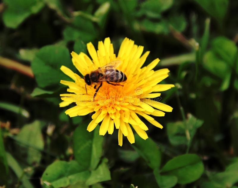 Bi som pollinerar en gul blomma royaltyfri bild