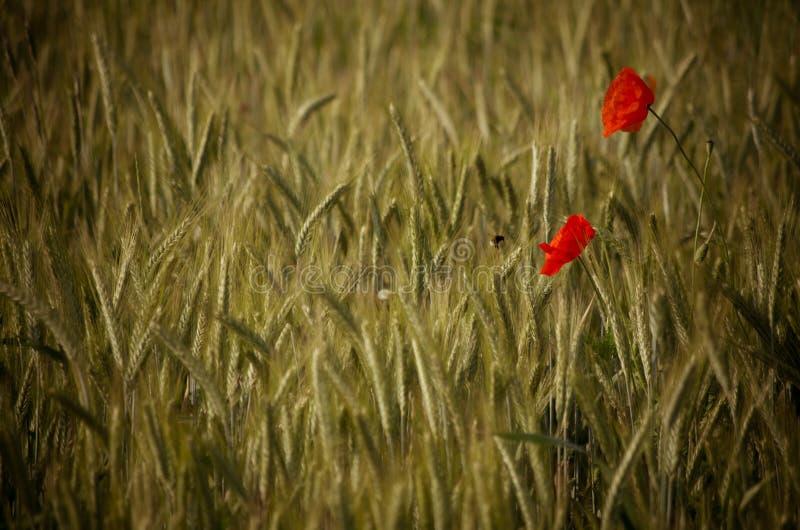 Bi som pollinerar en röd vallmoblomma på ett vetefält royaltyfri foto