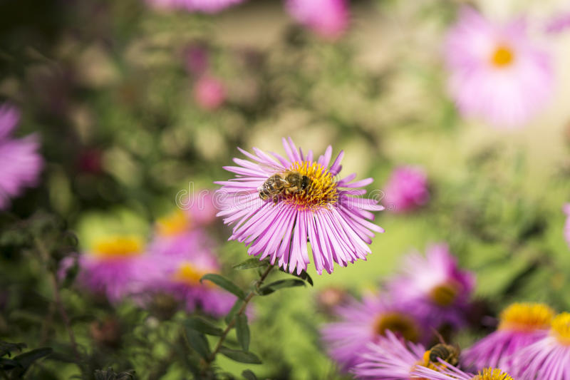 Bi som pollinerar en rosa blomma royaltyfria bilder
