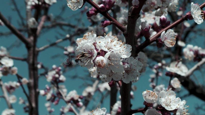 Bi som pollinerar ett blomma aprikosträd i en vårträdgård fotografering för bildbyråer