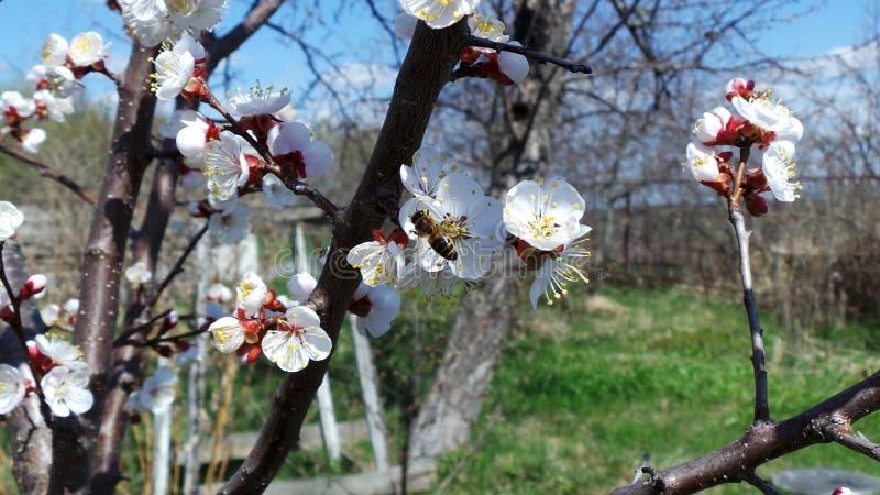 Bi som pollinerar ett blomma aprikostr?d i en v?rtr?dg?rd royaltyfri fotografi