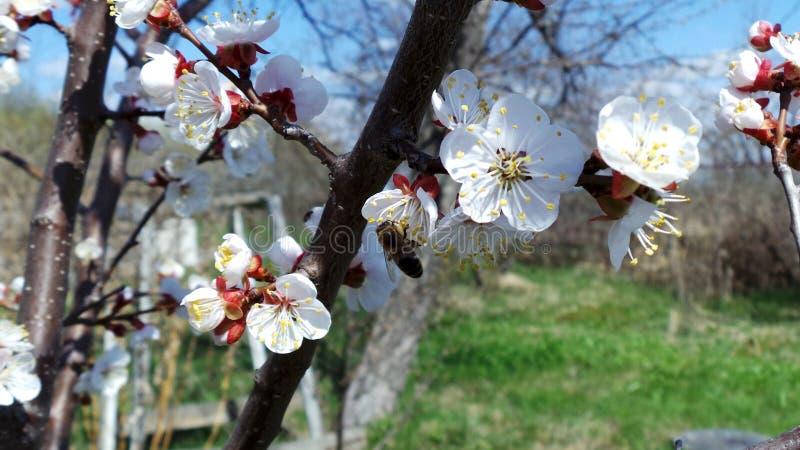 Bi som pollinerar ett blomma aprikostr?d i en v?rtr?dg?rd arkivfoto