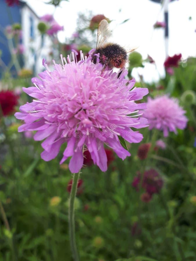 Bi som pollinerar rosa färgblomman arkivbild
