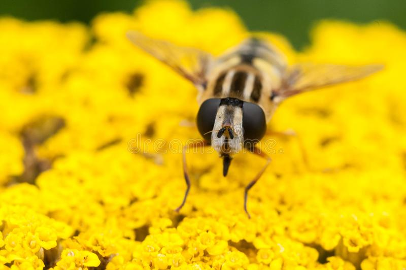 Bi som poserar på blommorna royaltyfri fotografi