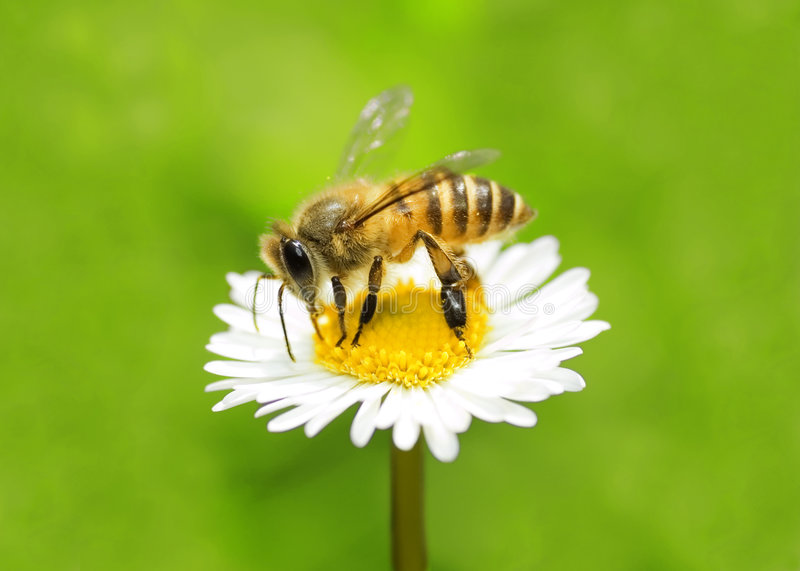 Bi som samlar honung royaltyfria foton