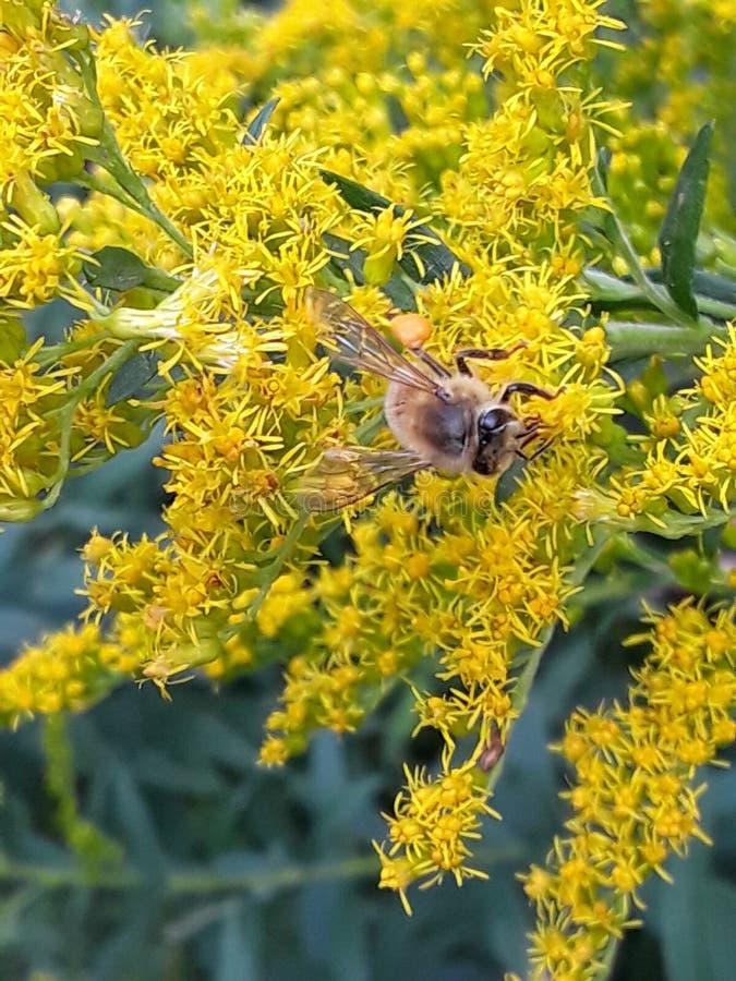 bi som samlar pollen arkivbild