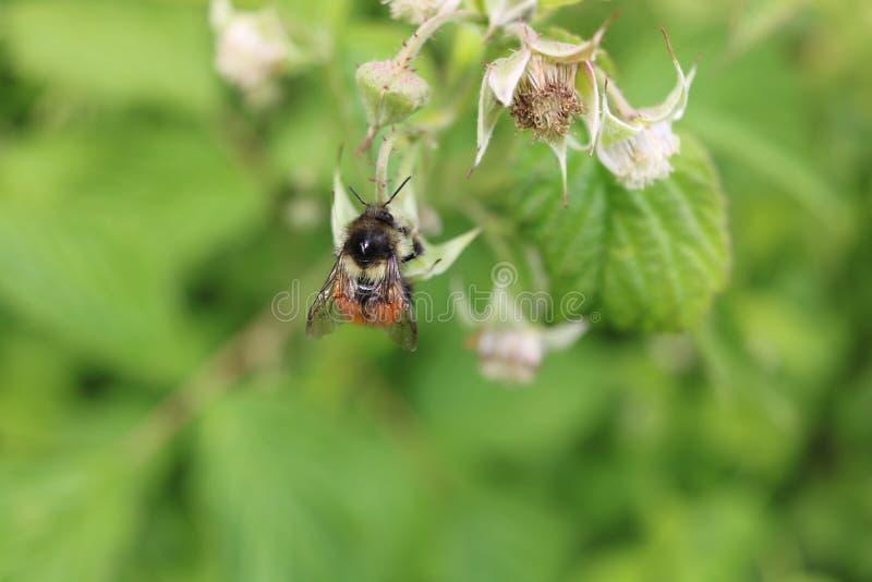 bi som samlar pollen royaltyfri fotografi