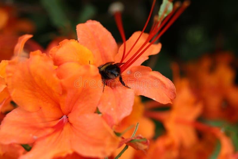 bi som samlar pollen arkivbilder