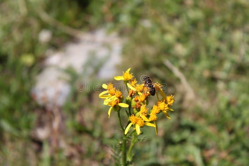 Bi som samlar pollen från den lösa blomman arkivfoton