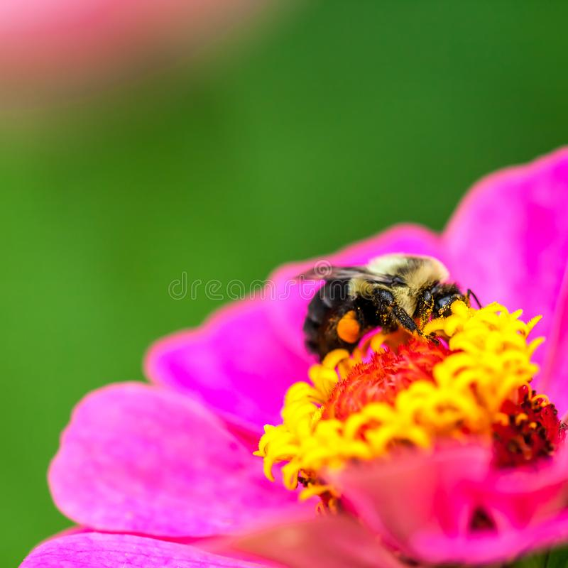 bi som samlar pollen royaltyfria foton