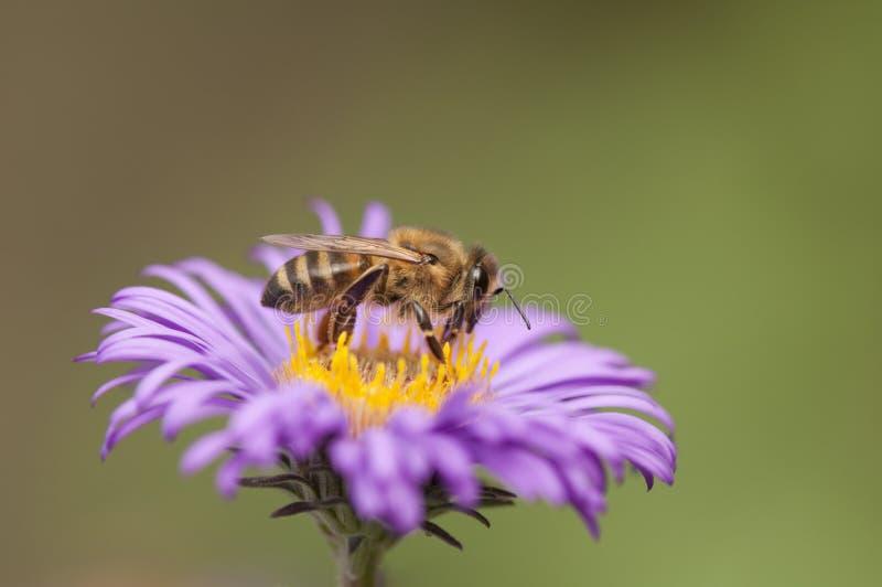 Bi som samlar pollen från lilablomman royaltyfri foto