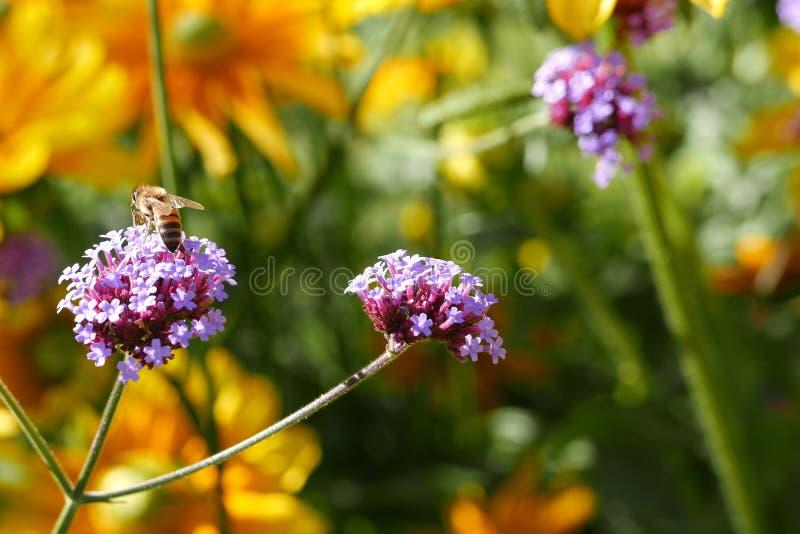 Bi som samlar pollen p? lilablomman royaltyfria bilder