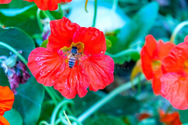 Bi som sitter på vallmoblomman som samlar nektar fotografering för bildbyråer