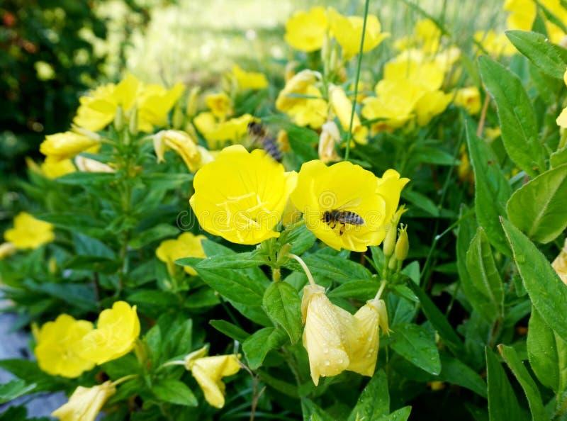 Bi som sitts på en ` för fruticosa för Oenothera för ` för blommaNarrowleaf nattljus i trädgården royaltyfri fotografi