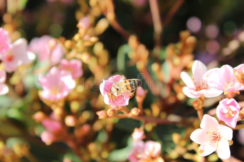 Bi som tar honungen från en blomma av trädgården arkivbilder