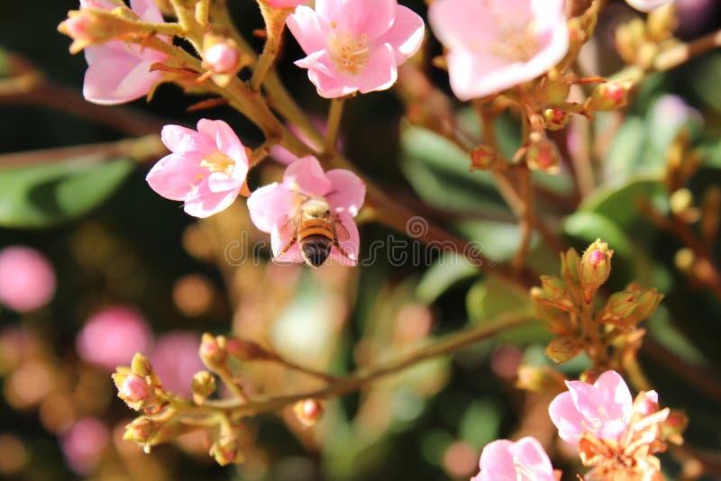 Bi som tar honungen från en blomma av trädgården arkivfoto