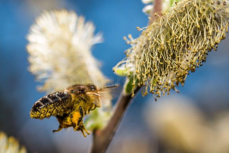 Bi under pollination royaltyfria bilder